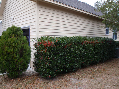 Right side view of Holly Berry bushes up to front corner.