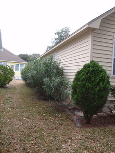 Left side of house with 10 Oleanders on side, 2 in rear.