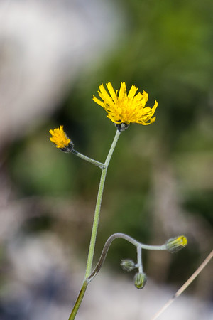 Autumn Hawkbit ~ Høstborst