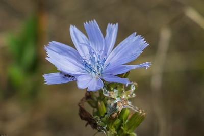 Common Chicory ~ Cikorie