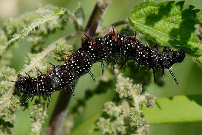 nokkosperhosen toukka