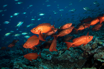 Big Eyed Soldierfish