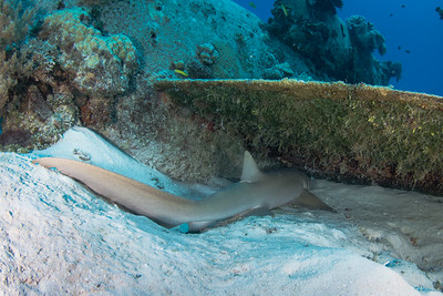 Nurse Shark Under the wing of a WWII B-25