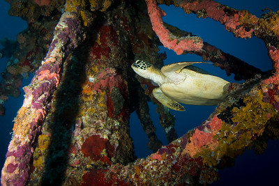 Green Sea Turtle on WWII Japanese Wreck Akakazi Maru
