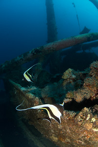 Moorish Idols on the Wreck