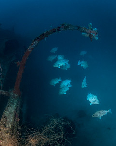 Groupers on the Dysan Maru