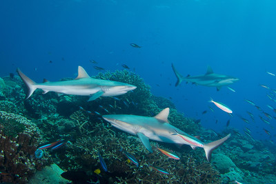 Sharks at Troy's Coral Head