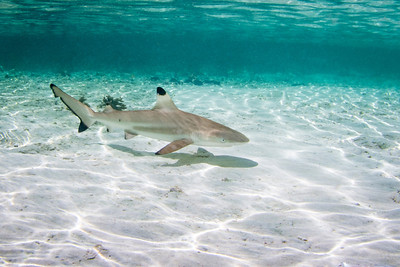 Baby Blacktip Shark