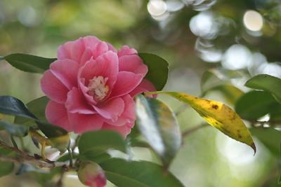 Pink Camellia - Reikanji Chiri Tsubaki  霊鑑寺散椿