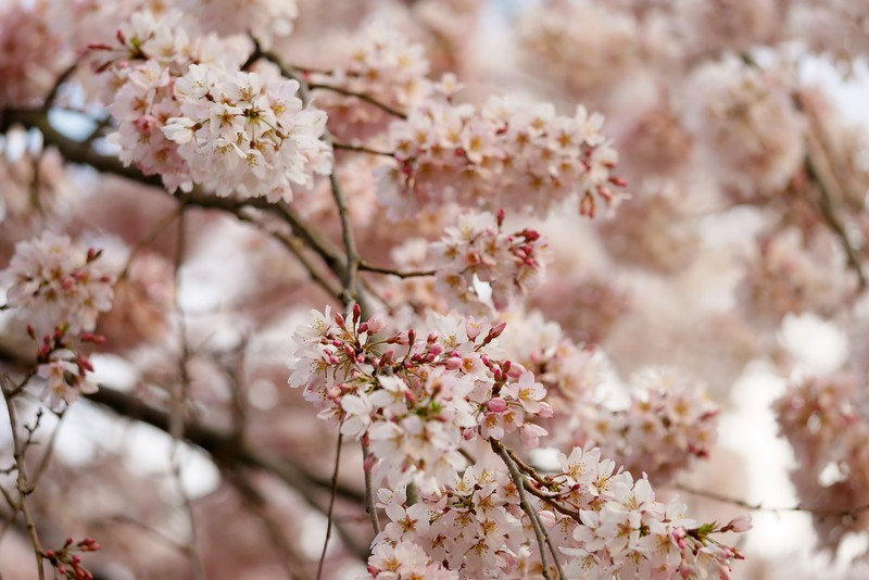 Kyoto Imperial Palace Weeping cherry tree