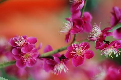 Japanese apricot - 下鴨神社 光琳の梅 Korin's ume  / UNESCO  World Heritage Site Shimogamo-jinjya shirine