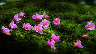 Fallen Camellias/ 京都 等持院 有楽椿 Kyoto Tojiin Uraku- Tsubaki