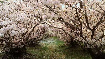 Fairy Tunnel / UNESCO World Heritage Site Ninnna-ji Temple