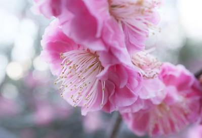 Pink Spring / Kyoto Kitano-tenmangu shrine