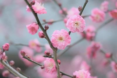 Pretty Pink Blooms / Kyoto  Kitano Tenman-gu