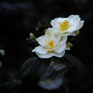 White camellias after the rain
