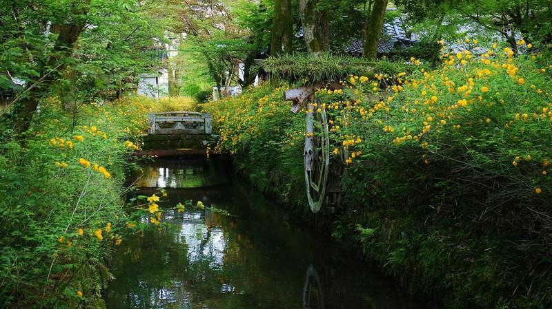 Kerria flowers along stream / Kyoto Matsunoo-taisha 京都 松尾大社