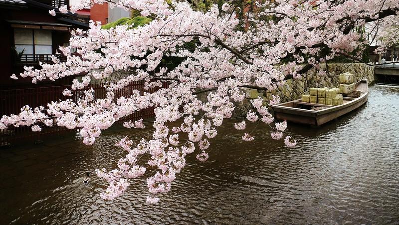 Canal in spring  / Kyoto Takase-gawa Canal -  Ichi-no Funairi