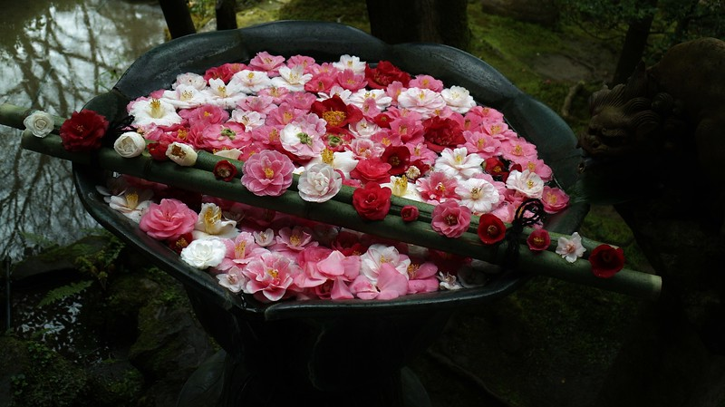 Floating camellias  in a rainy garden 京都 東山鹿ヶ谷 法然院