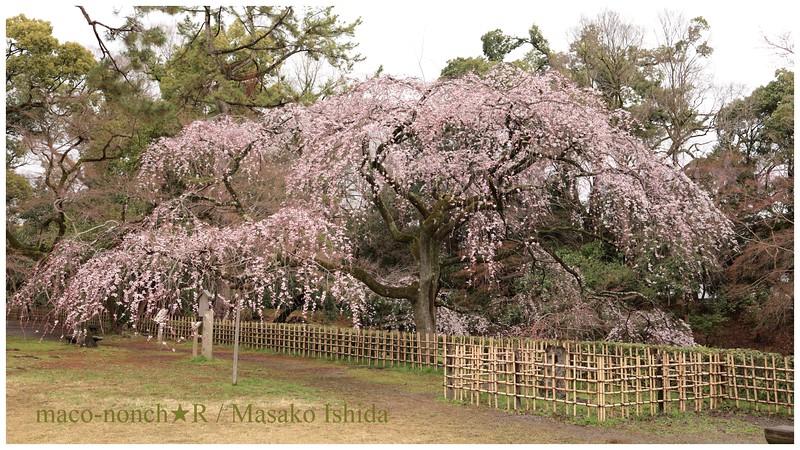 Weeping cherry blossoms Konoe-tei- no Itozakura