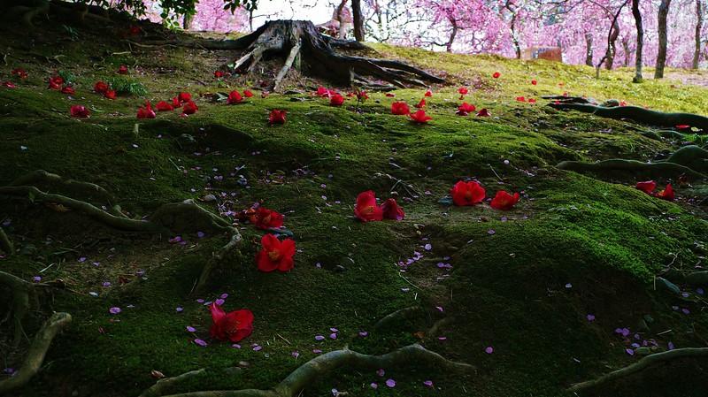 Fallen Camellias 京都 城南宮
