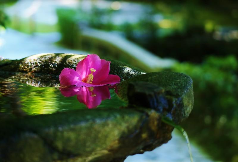 Hibiscus mutabilis / Kyoto Honen-in 京都 法然院