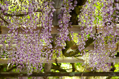 At Bishamon-do Temple, Kyoto in Spring  Wisteria, close-up and selective Focus