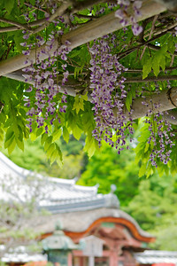 Wisteria, close-up and selective Focus in May  Bishamon-do Temple Roof in Background,