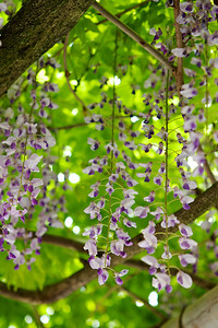 Temple Bishamon-do: Wisteria, close-up View and Selective Focus