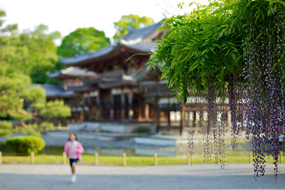 Wisteria at Byodo-in, child running  Scenery at Japanese Temple in Spring