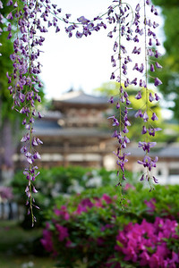 Byodo-in (Japanese World Cultural Heritage) in May  Graceful Temple Building with Azalea and Wisteria