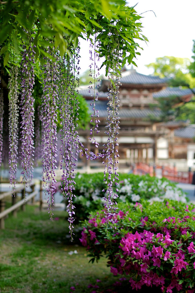 Byodo-in Temple with Wisteria and Azalea