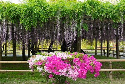 Azalea in Front of hanging Wisteria  Scenery at Byodo-in Temple south of Kyoto
