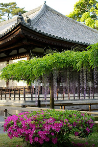 Byodo-in Temple Hall with hanging Wisteria and Azalea  Japanese World Cultural Heritage at Uji City, south of Kyoto