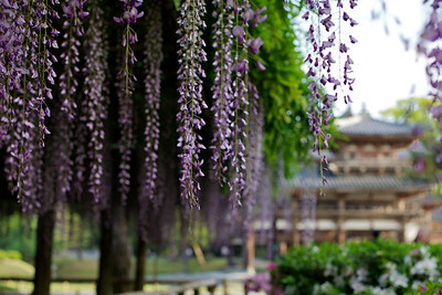 Byodo-in in May with gorgeous Wisteria and Azalea  Famous Japanese Temple