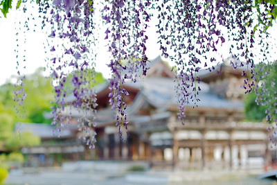 Byodo-in Temple with Wisteria