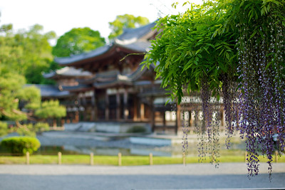Japanese World Cultural Heritage Byodo-in Temple  Spring Time with gorgeous Wisteria