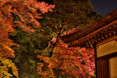 Beautiful Autumn Foliage in Front of Temple Building  Light up at Chion-in Monastery in Kyoto