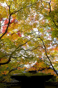 Subtemple of Daitokuji Temple in Kyoto:   KotoinFamous for its maple foliage in Autumn