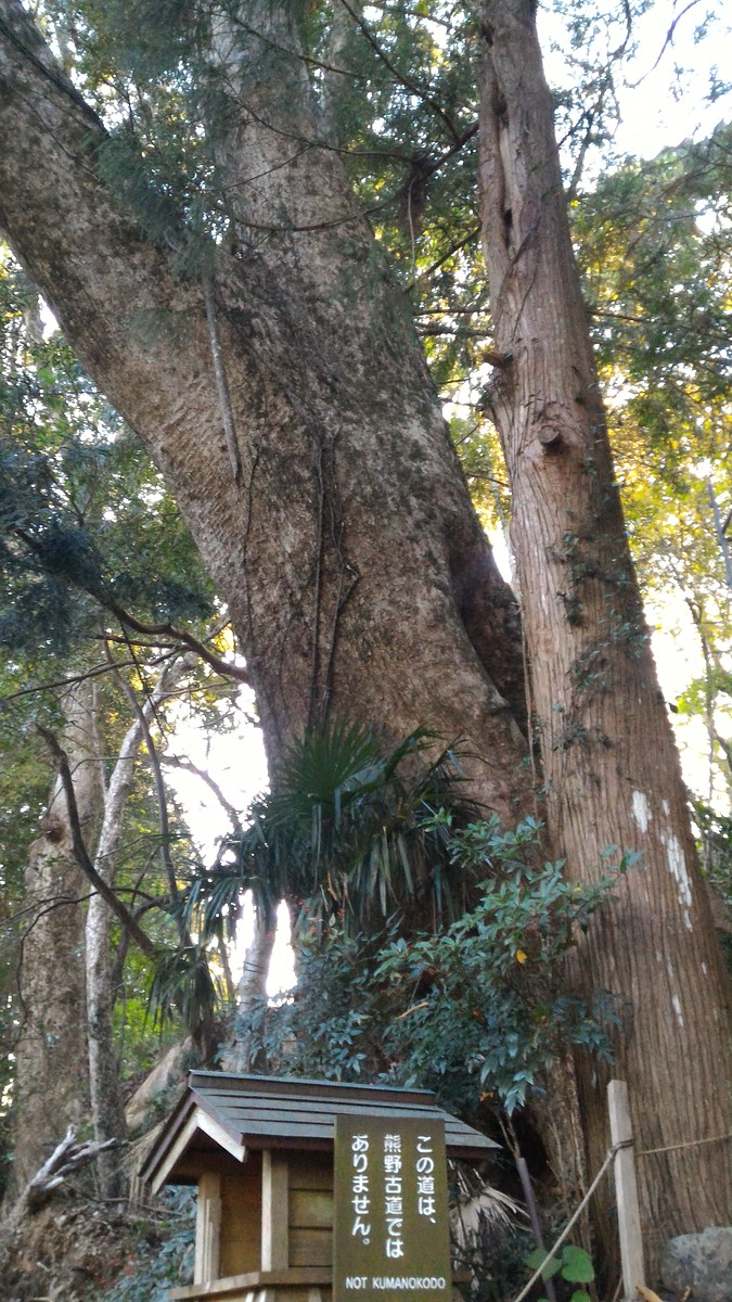 Camphor tree at Takahara Kumano-jinja