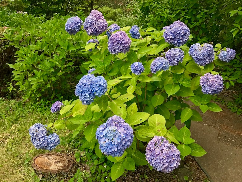 A hydrangea bush in full bloom.