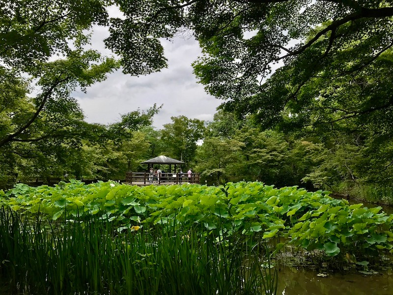 The lotus pond on a cloudy day in June.