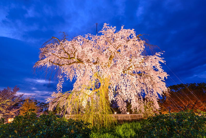 The central cherry tree at Maruyama-koen in the evening. Editorial credit: Sean Pavone / Shutterstock.com