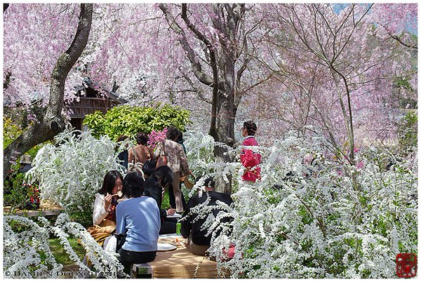 Lost in the blossoms of a Kyoto springtime image copyright Damien Douxchamps