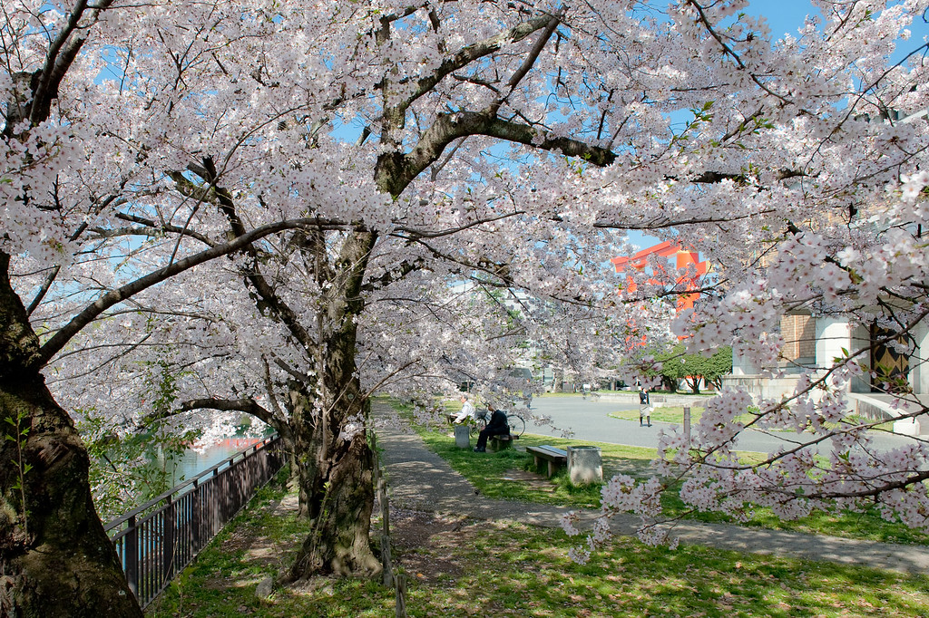 Cherry blossoms in Okazaki  : copyright Jeffrey Friedl
