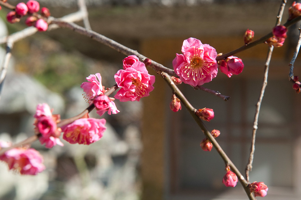 Plum blossoms at Kitano-Tenmangu Shrine  : copyright Jeffrey Friedl