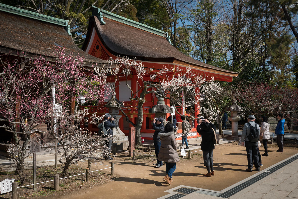 Plum blossoms at Kitano-tenmangu Shrine: copyright Jeffrey Friedl