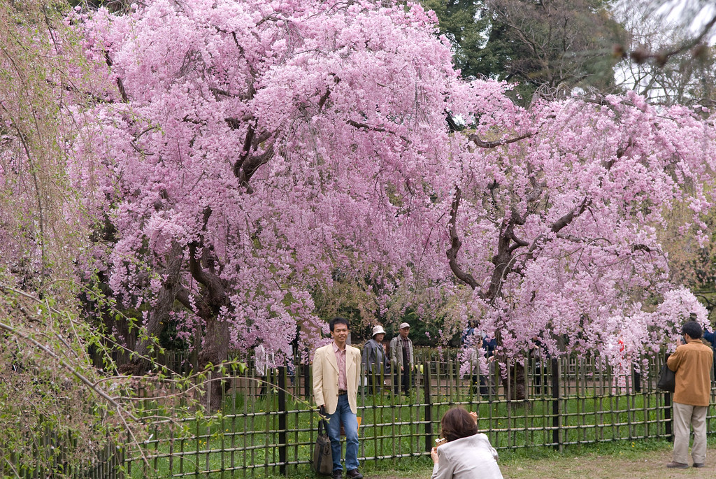 Cherry trees in the Kyoto Gyoen : copyright Jeffrey Friedl