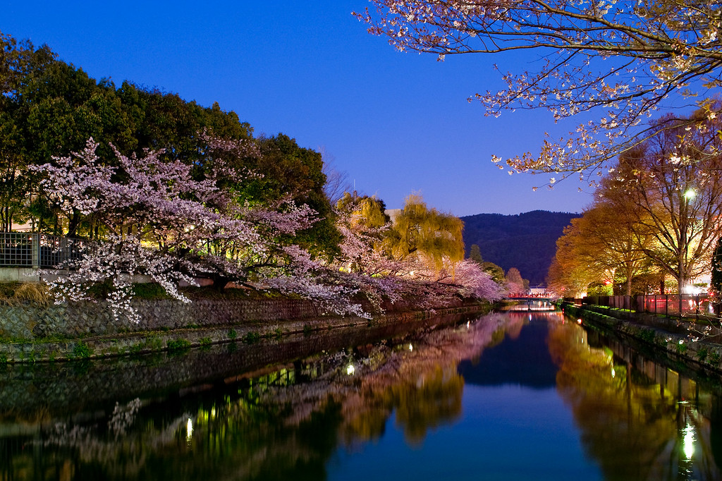 Illuminated cherry trees in Okazaki: copyright Jeffrey Friedl