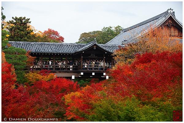 Maple leaves ablaze at Tofuku-ji Temple: copyright Damien Douxchamps